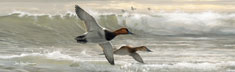 Canvasbacks I