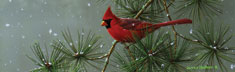 Winter Snowfall Cardinal