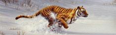 Siberian Tiger Charging