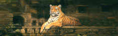 Rajastan Tiger